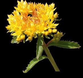 Rhodolia-rosea
